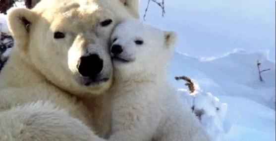 calin-dours-polaires
